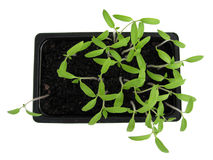 Plantas de semillero 1 Fotografía de archivo libre de regalías