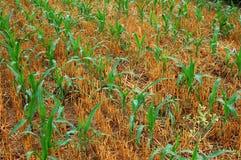 Plantas de semillero 1 del maíz Fotografía de archivo libre de regalías