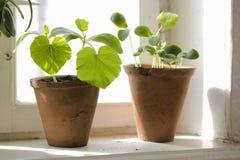 Plantas de semillero Imagen de archivo