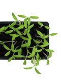 Plantas de semillero 2 Foto de archivo