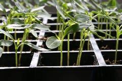 Plantas de semillero Fotografía de archivo libre de regalías