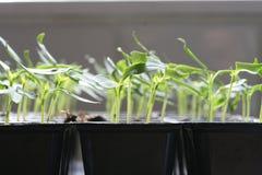 Plantas de semillero Fotografía de archivo