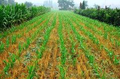 Plantas de semillero 7 del maíz Imagen de archivo libre de regalías
