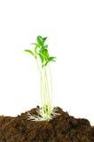 Plantas de semillero Fotos de archivo libres de regalías