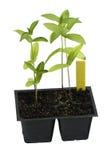 Plantas de semillero de cosecha propia del zinnia listas para el trasplante Fotografía de archivo libre de regalías