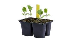 Plantas de semillero de la berenjena contra un fondo blanco Fotos de archivo