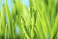 Plantas de semillero de la cebada Foto de archivo