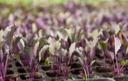 Plantas de semillero de la col roja Fotografía de archivo