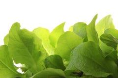 Plantas de semillero de la lechuga Foto de archivo