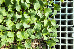 Plantas de semillero de la lechuga Fotografía de archivo