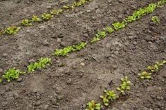 Plantas de semillero de la lechuga en filas Fotos de archivo