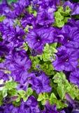 Plantas de semillero de la petunia Foto de archivo
