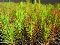 Plantas de semillero de la silvicultura Fotografía de archivo libre de regalías