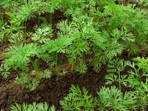 Plantas de semillero de las zanahorias Imagen de archivo libre de regalías