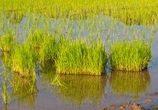 Plantas de semillero del arroz Imagen de archivo libre de regalías