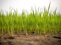 Plantas de semillero del arroz Foto de archivo libre de regalías