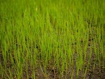 Plantas de semillero del arroz Imágenes de archivo libres de regalías