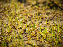 Plantas de semillero del arroz Fotografía de archivo libre de regalías