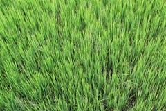Plantas de semillero del arroz Imagenes de archivo