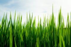 Plantas de semillero del arroz al fondo del cielo Imagen de archivo libre de regalías