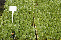 Plantas de semillero del bróculi Imágenes de archivo libres de regalías