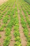 Plantas de semillero del cacahuete Foto de archivo