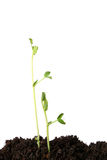 Plantas de semillero del guisante Imagenes de archivo