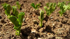 Plantas de semillero del guisante verde Imágenes de archivo libres de regalías