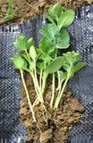 Plantas de semillero del melón Fotos de archivo libres de regalías