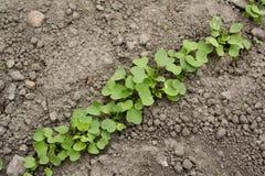 Plantas de semillero del rábano en fila Imagenes de archivo