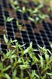 Plantas de semillero del tomate Imagenes de archivo