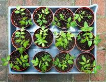 Plantas de semillero del tomate Fotografía de archivo libre de regalías