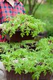 Plantas de semillero del tomate Fotografía de archivo