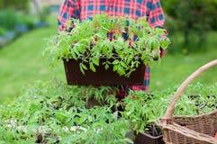 Plantas de semillero del tomate Imagen de archivo
