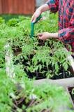 Plantas de semillero del tomate Imagen de archivo libre de regalías