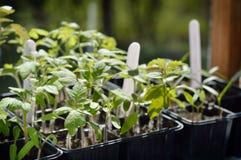 Plantas de semillero del tomate Fotos de archivo libres de regalías