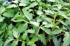 Plantas de semillero del tomate Imágenes de archivo libres de regalías