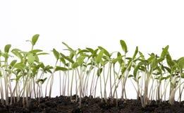 Plantas de semillero del tomate del arte en el invernadero del resorte Imagen de archivo