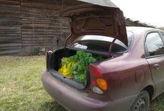 Plantas de semillero del tomate en el tronco de un coche Foto de archivo libre de regalías