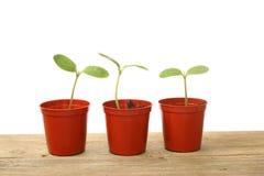 Plantas de semillero en crisoles Imagen de archivo libre de regalías