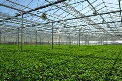 Plantas de semillero en invernadero Fotografía de archivo libre de regalías
