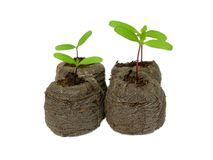 Plantas de semillero en un crisol de la turba Foto de archivo libre de regalías