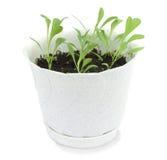 Plantas de semillero jovenes de flores Foto de archivo libre de regalías