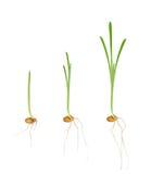 Plantas de semillero jovenes de plantas Fotos de archivo libres de regalías