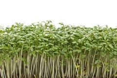 Plantas de semillero jovenes del berro Fotos de archivo libres de regalías