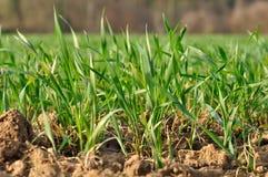Plantas de semillero jovenes del trigo Fotos de archivo libres de regalías