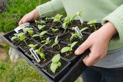 Plantas de semillero orgánicas de la planta en una bandeja Imágenes de archivo libres de regalías