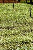 Plantas de semillero vegetales Foto de archivo