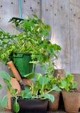 Plantas de semillero vegetales en crisoles Imagen de archivo libre de regalías