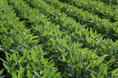 Plantas de soja cultivadas verde en campo imagenes de archivo